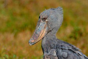 -virunga-safari-shoebill