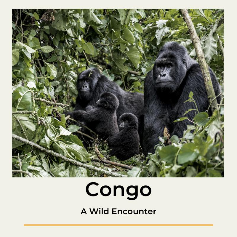 Congo A Wild Encounter The Wildlinger Virunga